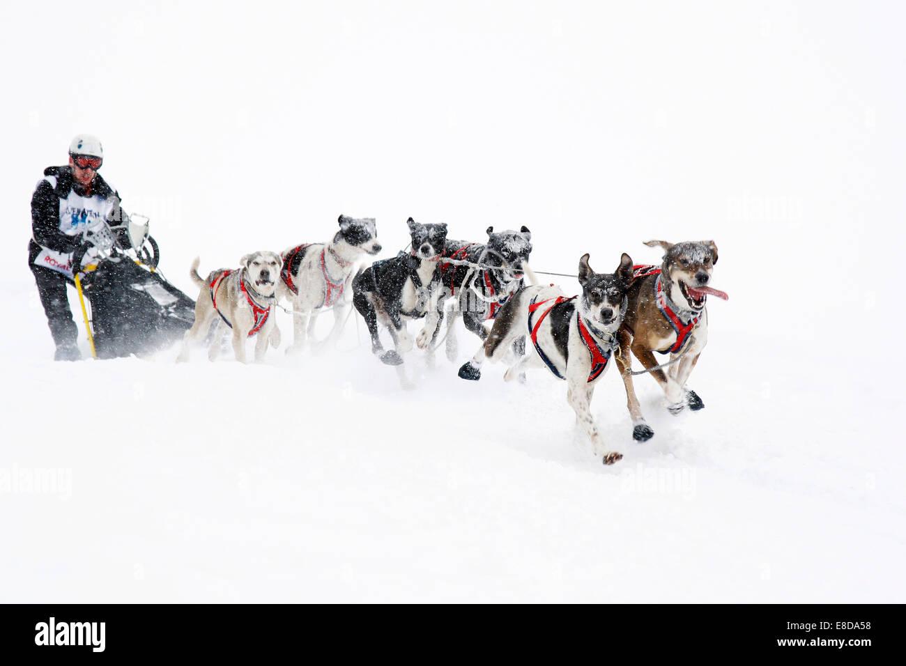 Alpine Trail Sled Dog Race 2013, Eurohounds, Prato Piazza alpine meadow, Fanes-Sennes-Prags Nature Park, Prags, Stock Photo