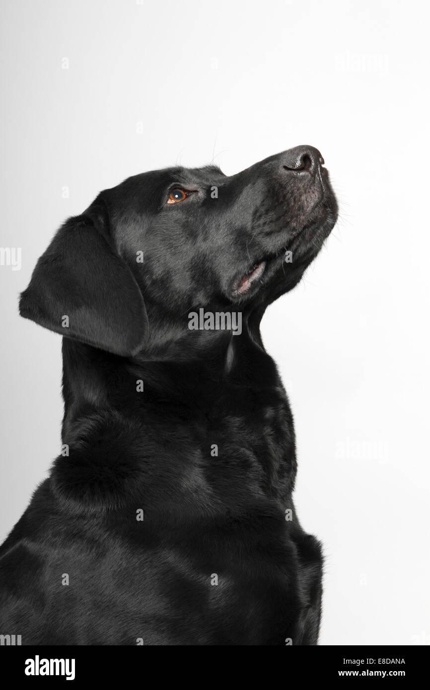 Black Labrador Retriever dog, male, portrait - Stock Image