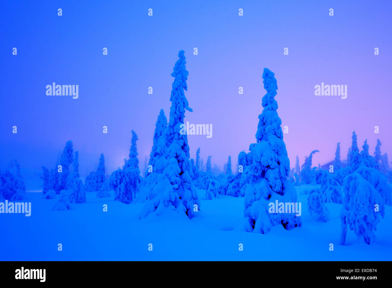 Trees in a snow-covered winter landscape, Iso Syöte, Lapland, Finland - Stock Image