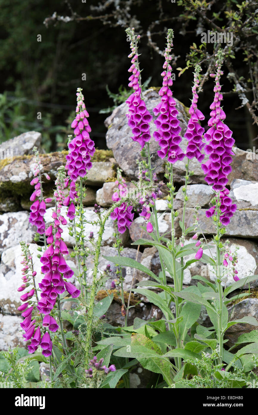 Foxgloves (Digitalis) growing in front of a dry stone wall. England, UK - Stock Image