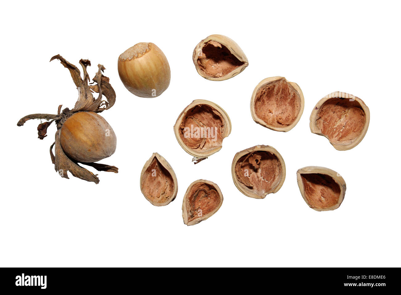 Whole Hazelnuts And Those Nibbled By Grey Squirrels Sciurus carolinensis - Stock Image