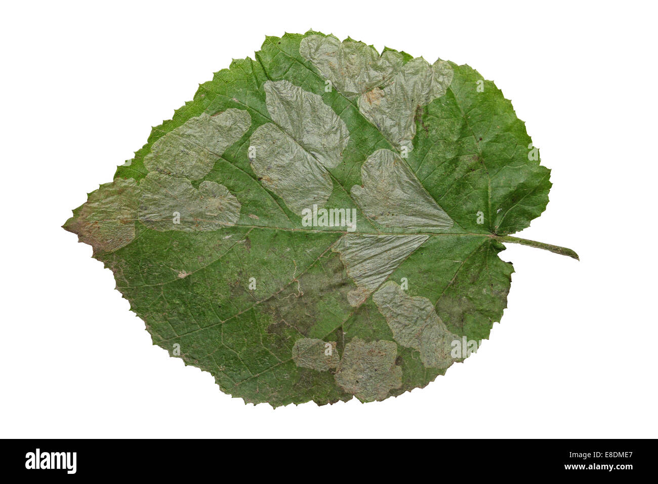 Leaf Mines on Hazel Corylus avellana leaves caused by the Nut Leaf Blister Moth Phyllonorycter coryli - Stock Image