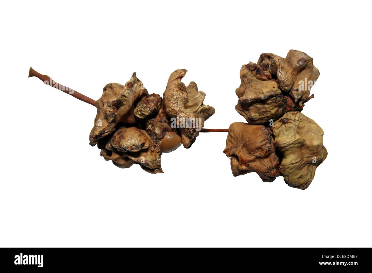 Oak Knopper Gall Caused By The Gall Wasp Andricus quercuscalicis - Stock Image