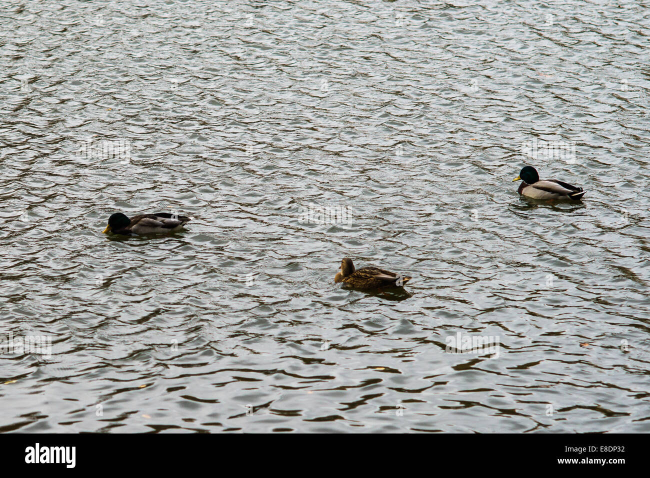 Three ducks rocks on the waves of the cold autumn pond. Damp Weather. - Stock Image