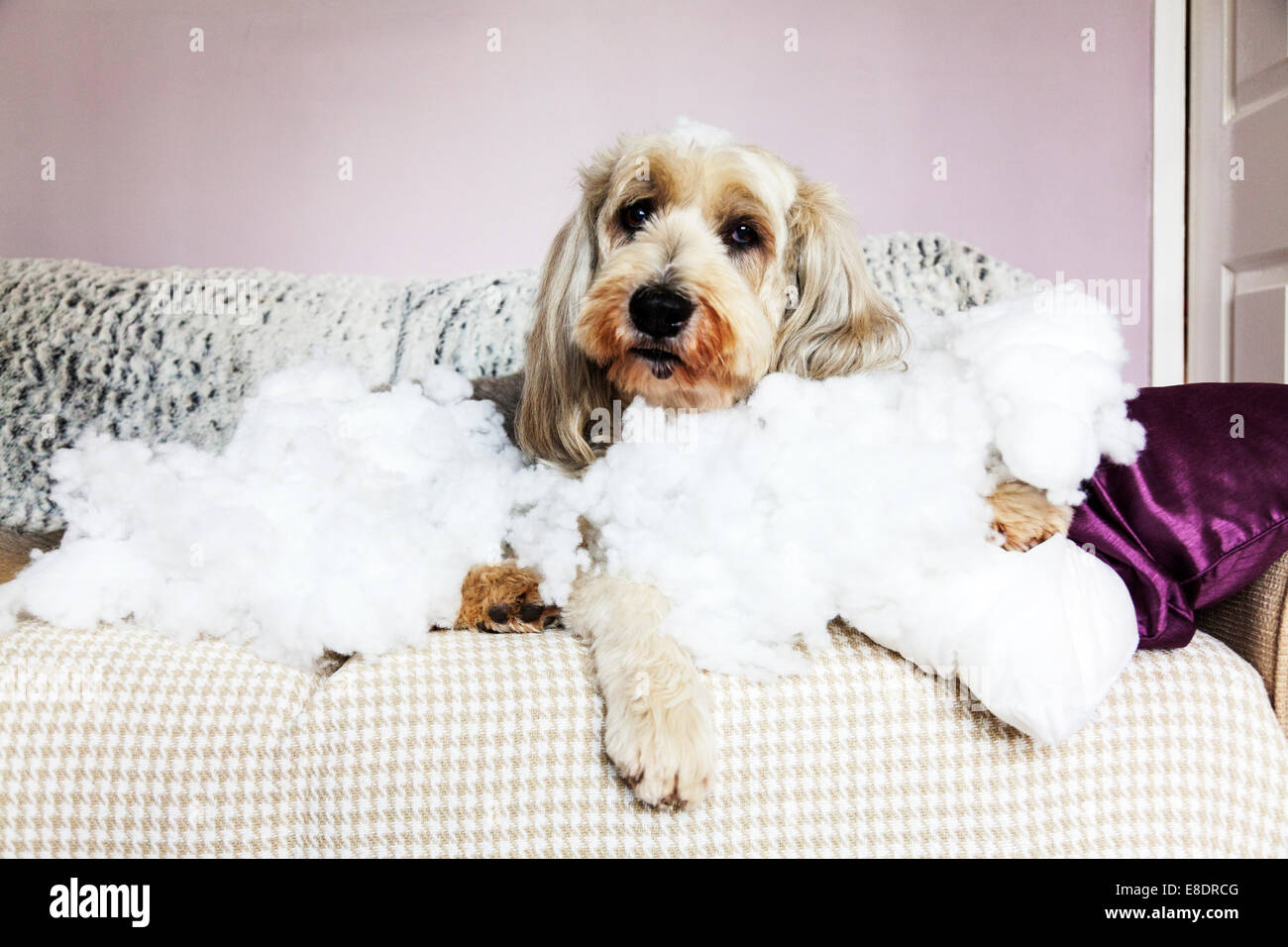 destructive pet dog shredded pillow looking proud guilty innocent stuffing around canine proving guilt bearded collie - Stock Image