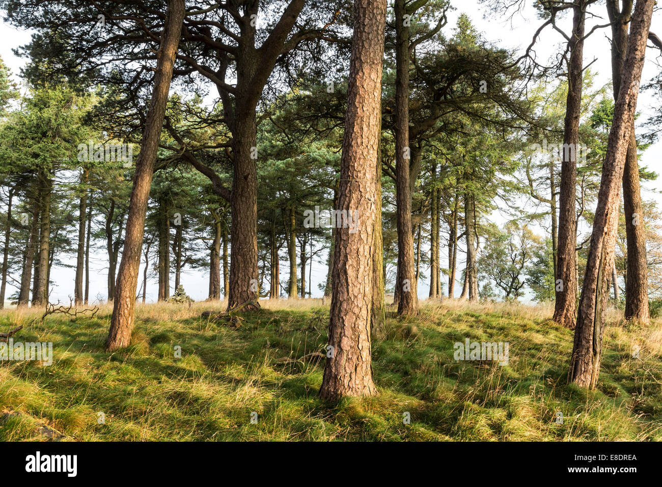 Scots Pine Trees (Pinus Sylvestris) Growing on the Tumulus of Kirkcarrion Lunedale County Durham England Stock Photo
