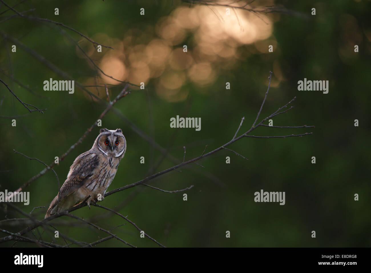 Long-eared Owl (Asio otus) at sunset, Europe - Stock Image