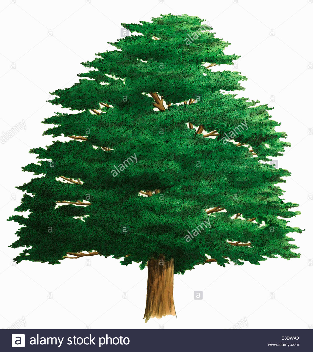 Single tree on white background, Yew (Taxus baccata) - Stock Image
