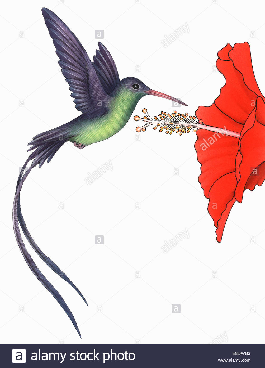 Hummingbird (Mellisuga) hovering near red flower - Stock Image