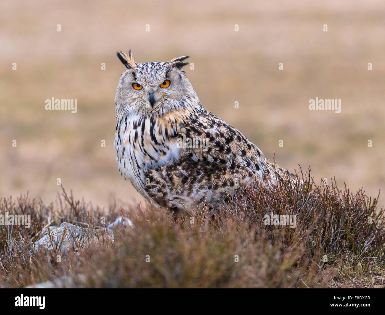 Western Siberian Eagle Owl [Bubo bubo Sibericus] posing on a rock in open heather clad scrub land. - Stock Image