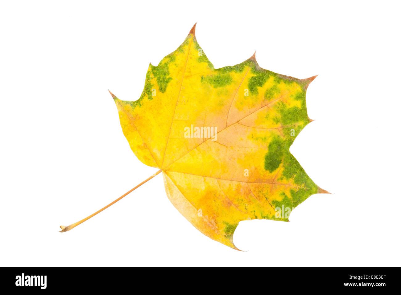 Maple leaf isolated on white - Stock Image