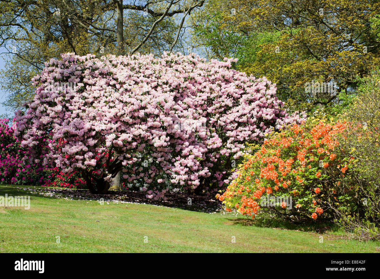 The Rhododendron Gardens at Bowood House, Derry Hill, Calne, Wiltshire Stock Photo
