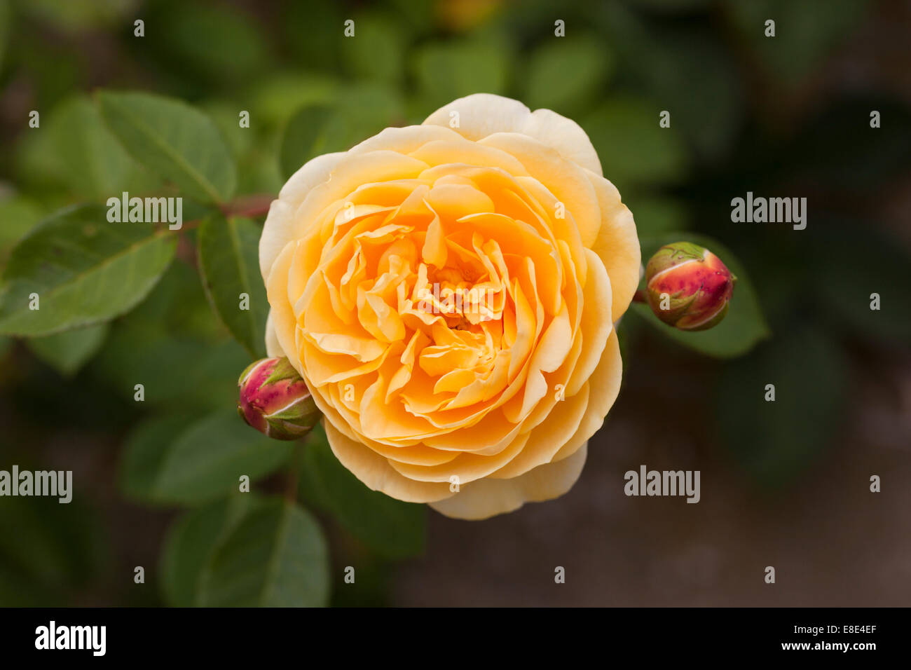Close up of yellow Rosa / Rose Teasing Georgia against a blurred background Stock Photo