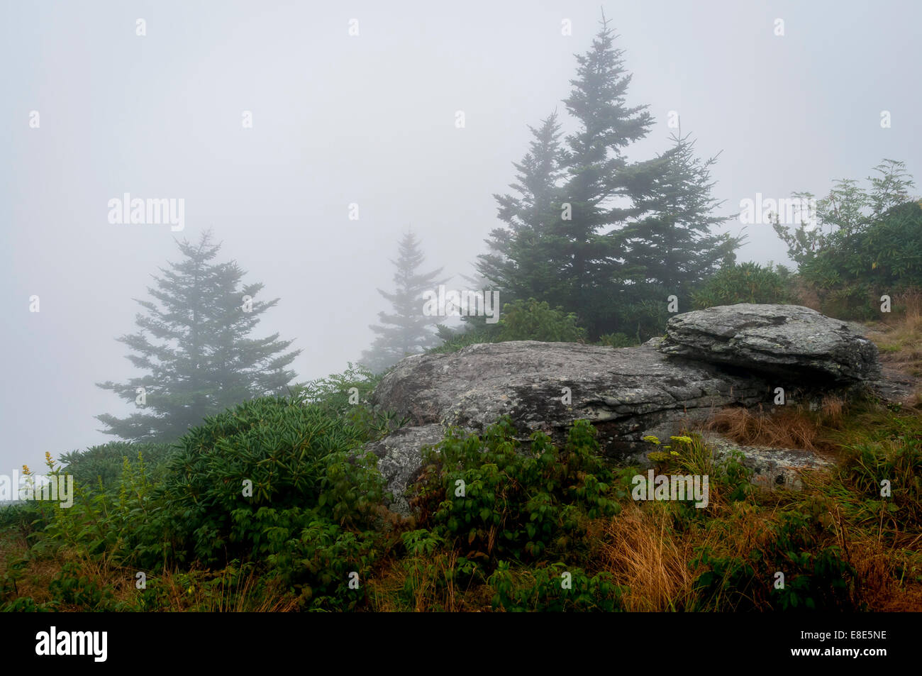 A foggy morning at the edge of the spruce-fir forest along  Grassy Ridge at the top of Roan Mountain in Pisgah National - Stock Image