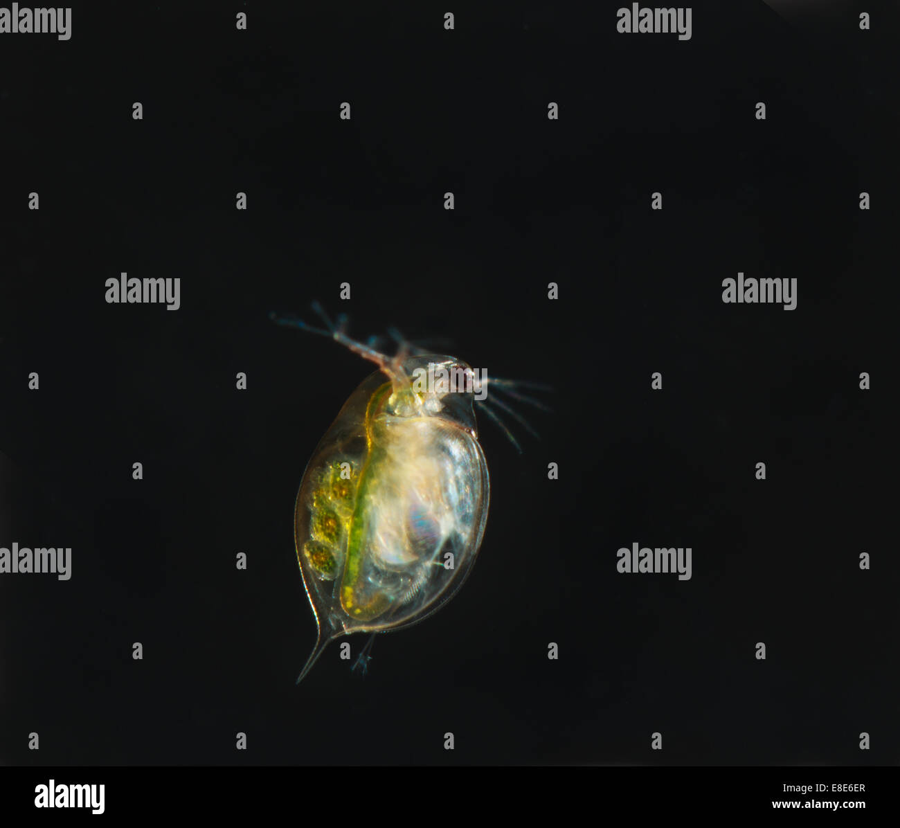 A Water Flea Cyclops Sp Stock Photo 74071167 Alamy