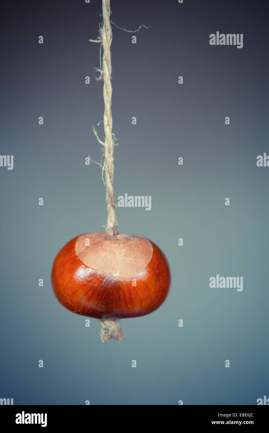 simple close up of a conker on a string with plain autumn background Upright portrait - Stock Image