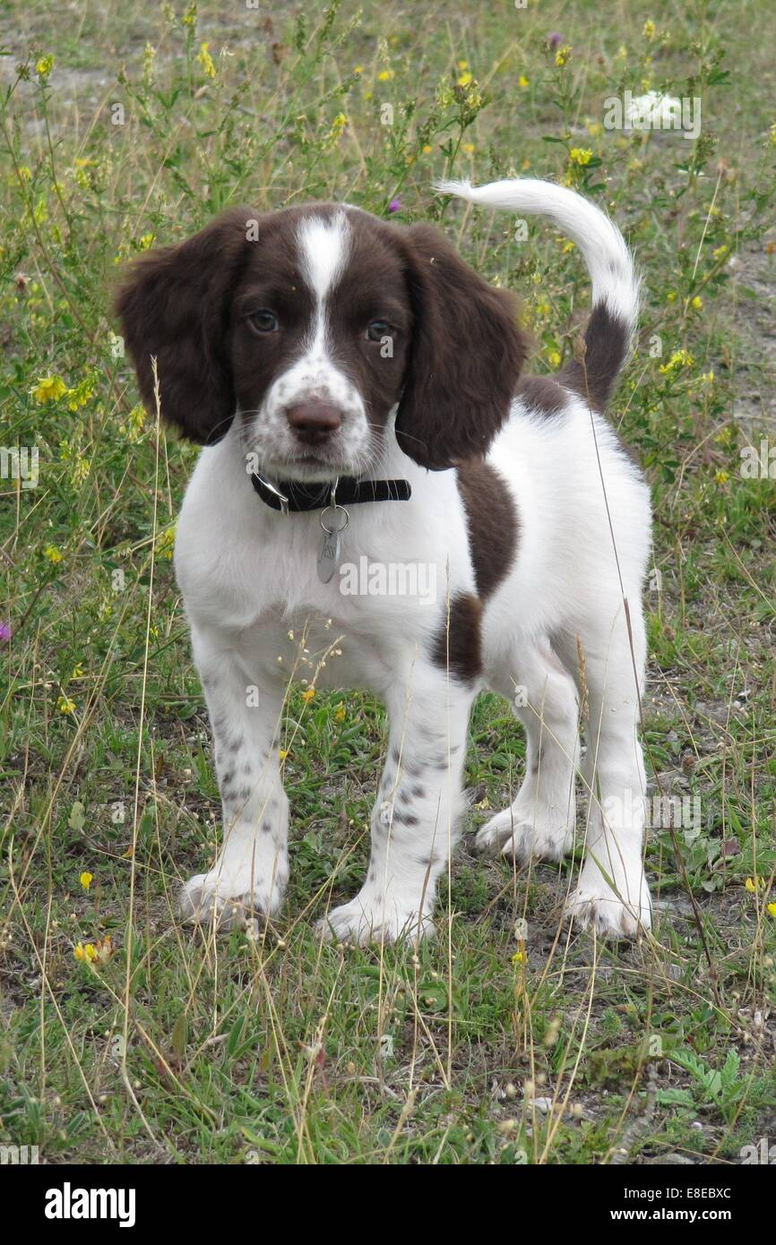Very cute young liver and white working type english springer