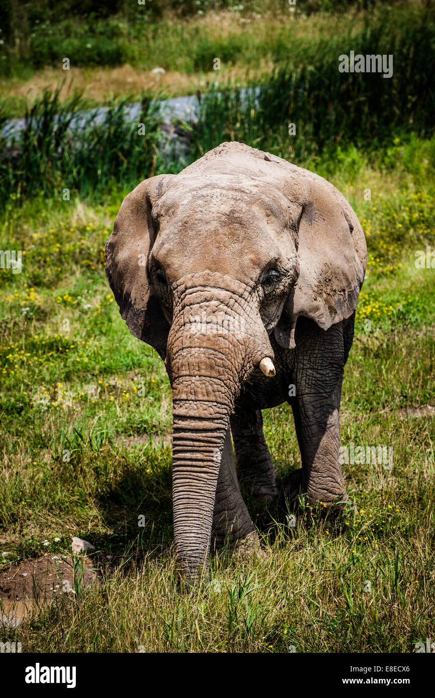 Editorial - July 29, 2014 Lonely Elephant at Parc Safari, Quebec , Canada on a beautiful summer day. Stock Photo