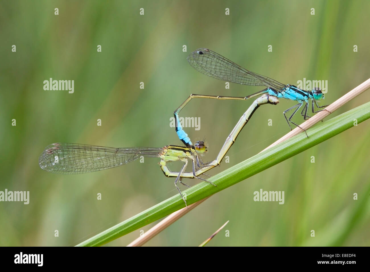 pair of blue-tailed damselflies mating while perched on a grass stem, Camargue, France. - Stock Image