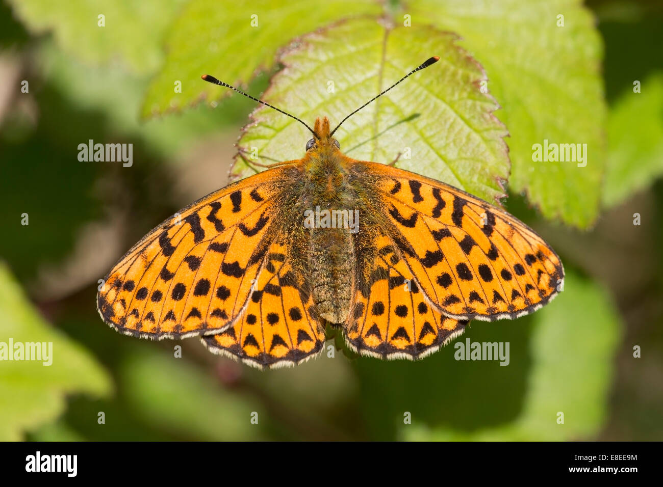 freshly emerged adult pearl-bordered fritillary butterfly resting on bramble leaf, New Forest, England - Stock Image
