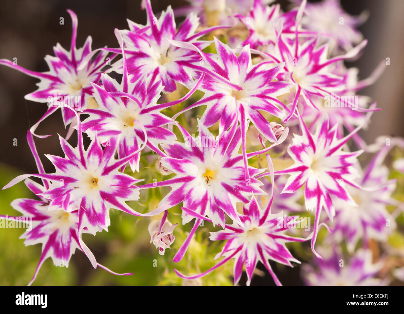 Star Shaped Flowers Stock Photos Star Shaped Flowers Stock Images