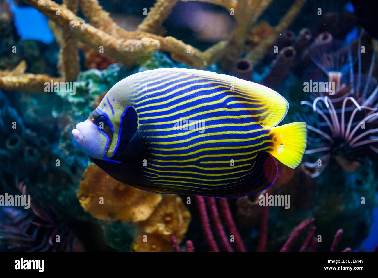 Imperial Anglefish Closeup in a Big Saltwater Aquarium - Stock Image