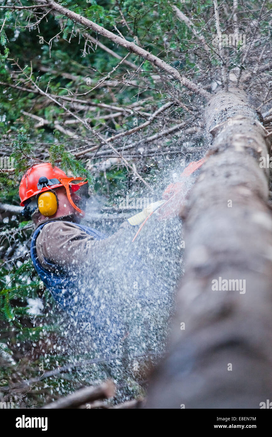 Professional Lumberjack Cutting a big Tree in the Forest during the Winter - Stock Image