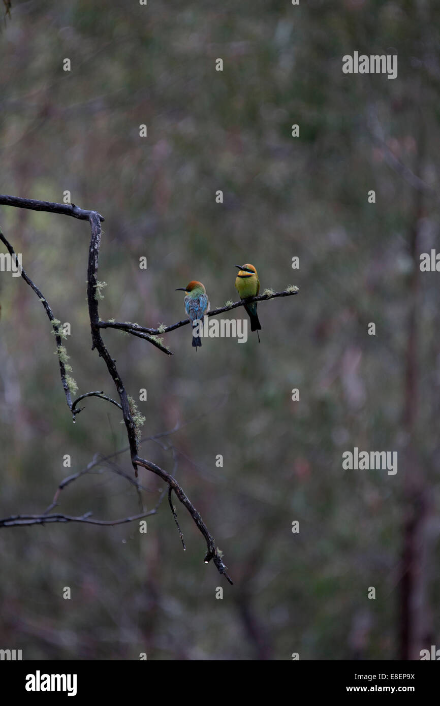 Male and female Rainbow Bee-eater birds resting on branch in the rain. - Stock Image
