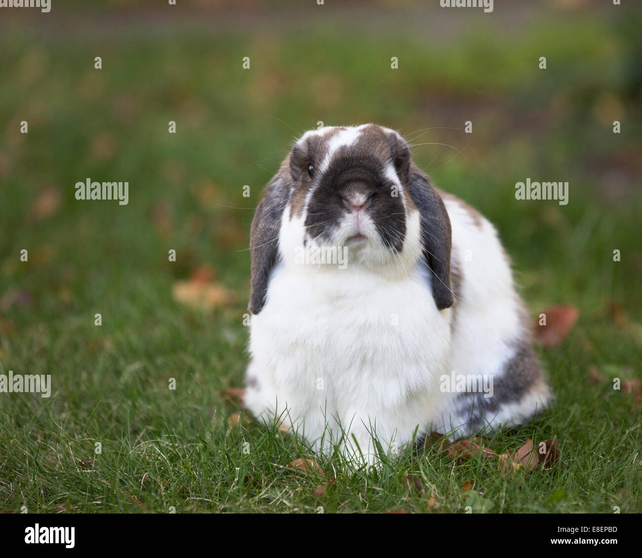 Holland Lop dwarf rabbit outdoors on lawn. - Stock Image