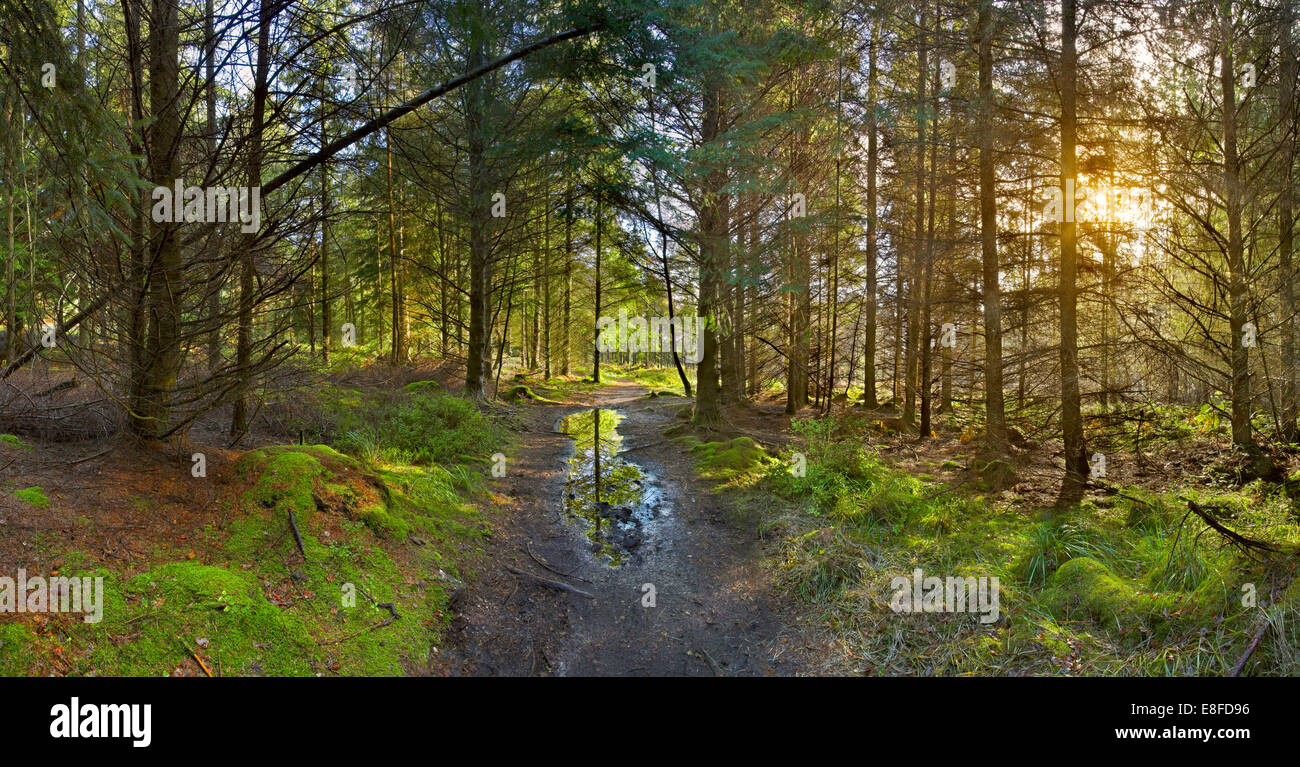 Pathway through a sunlit conifer woodland. - Stock Image