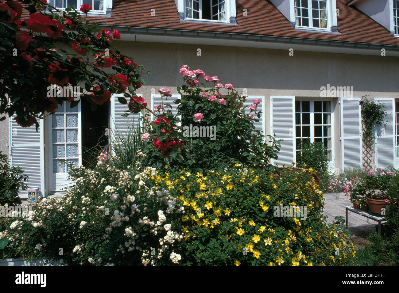 White And Pink Roses Yellow Hypericum Growing Beside Patio In Front Of French Country House With Pale Gray Shutters