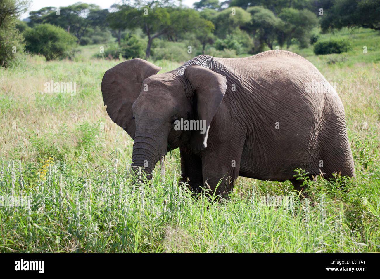 Tanzania, Young Elephant grazing - Stock Image