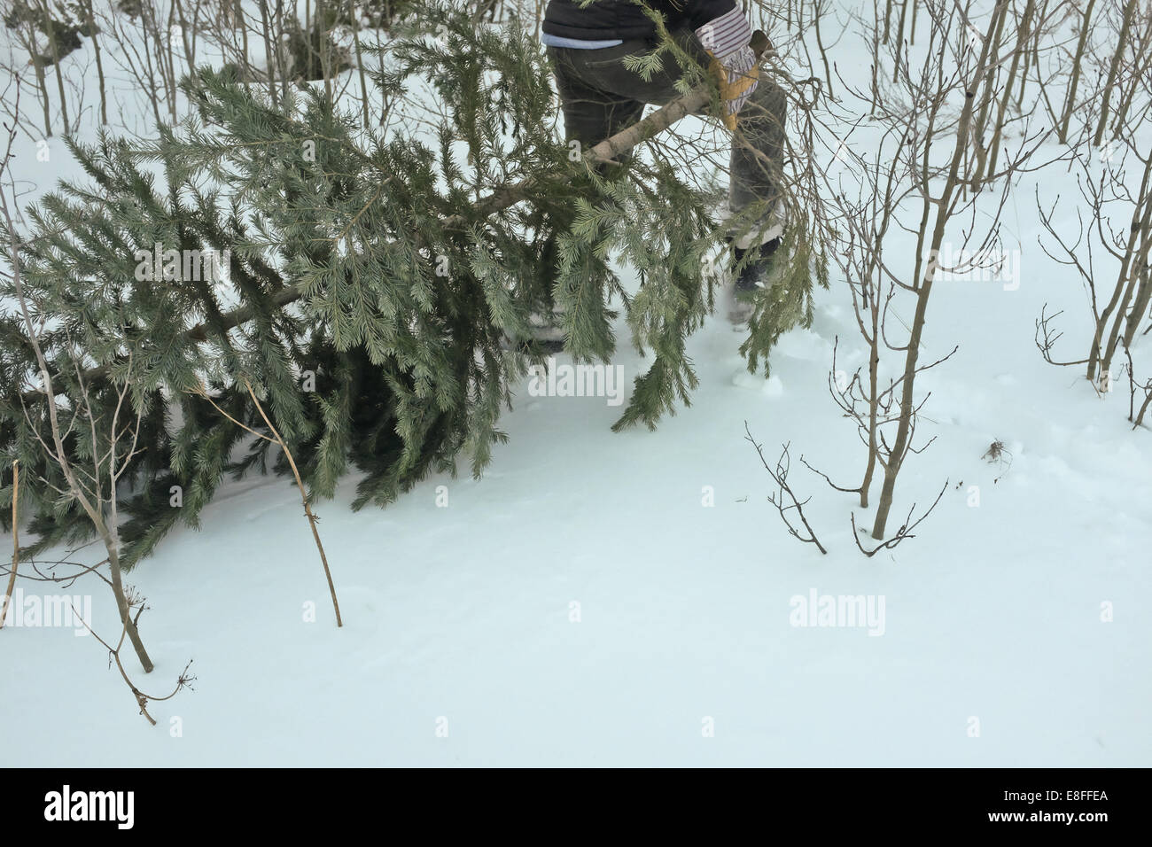 Tree dragged through snow by man - Stock Image