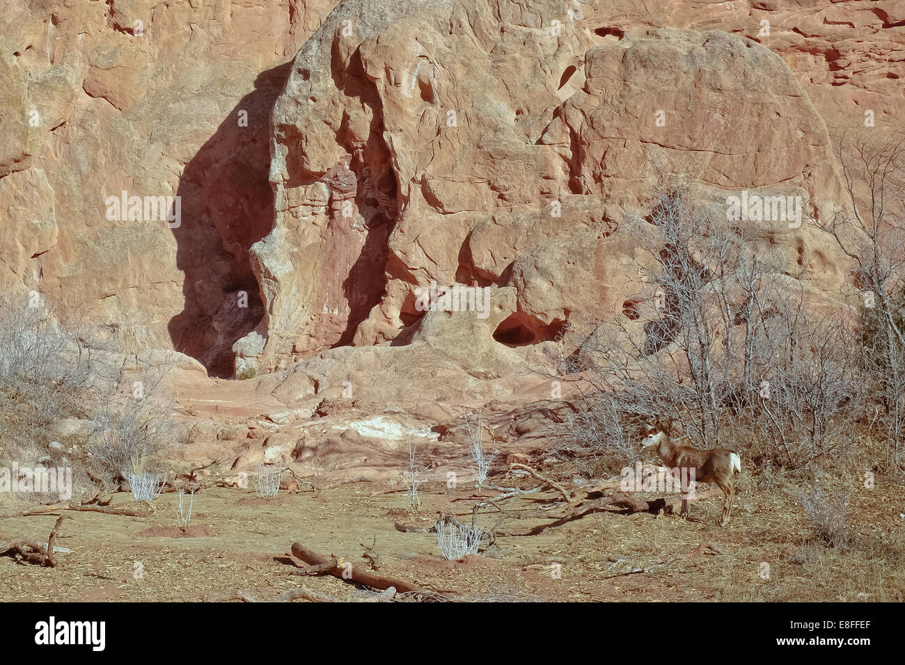 USA, Colorado, El Paso, Colorado Springs, Garden of the Gods, Garden Drive, Deer in natural environment - Stock Image