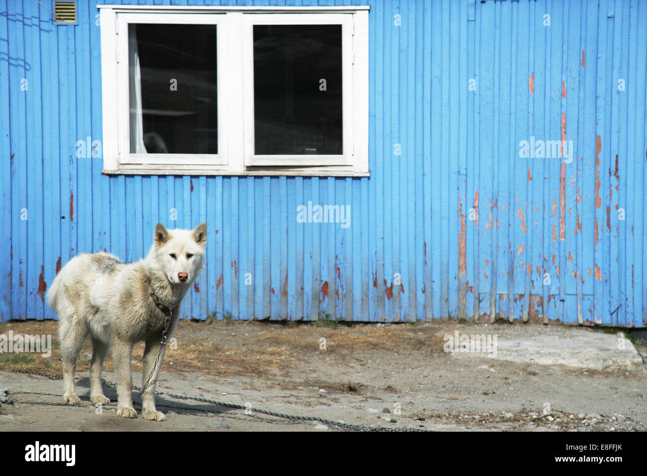 Husky dog standing outside building, Greenland - Stock Image