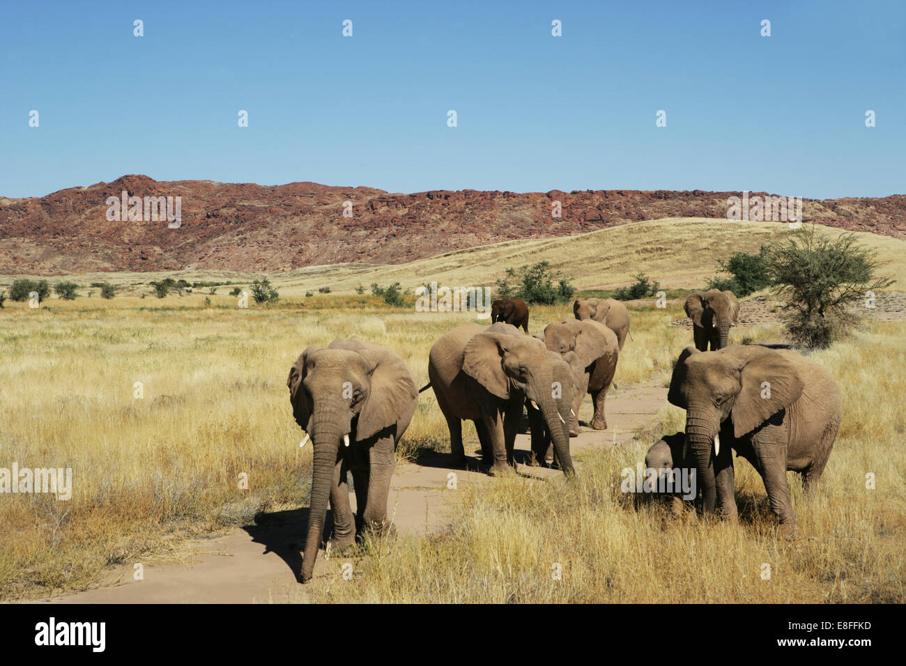 Herd of elephants, Namibia - Stock Image