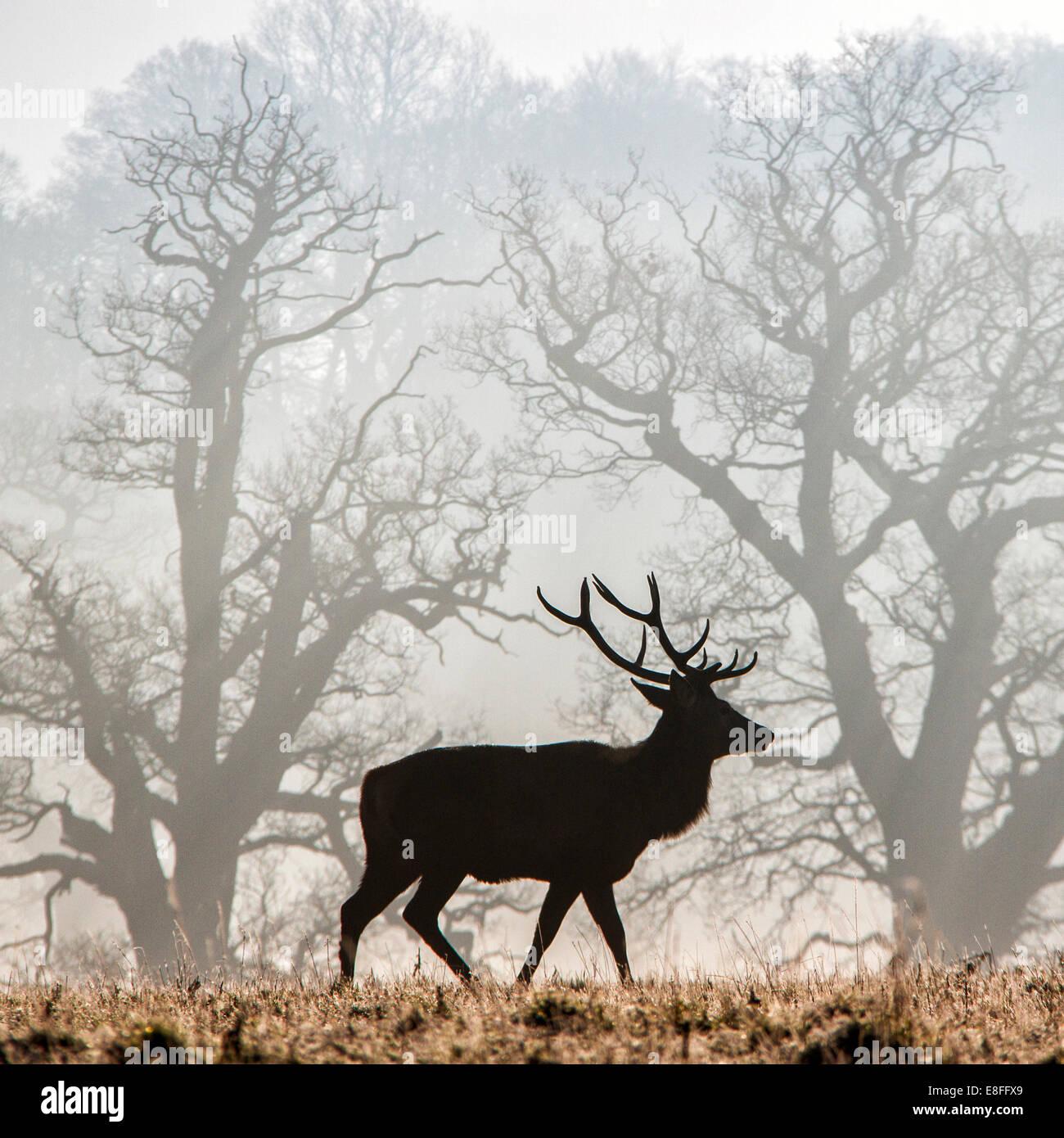 Deer standing in park, Berkshire, England, UK - Stock Image