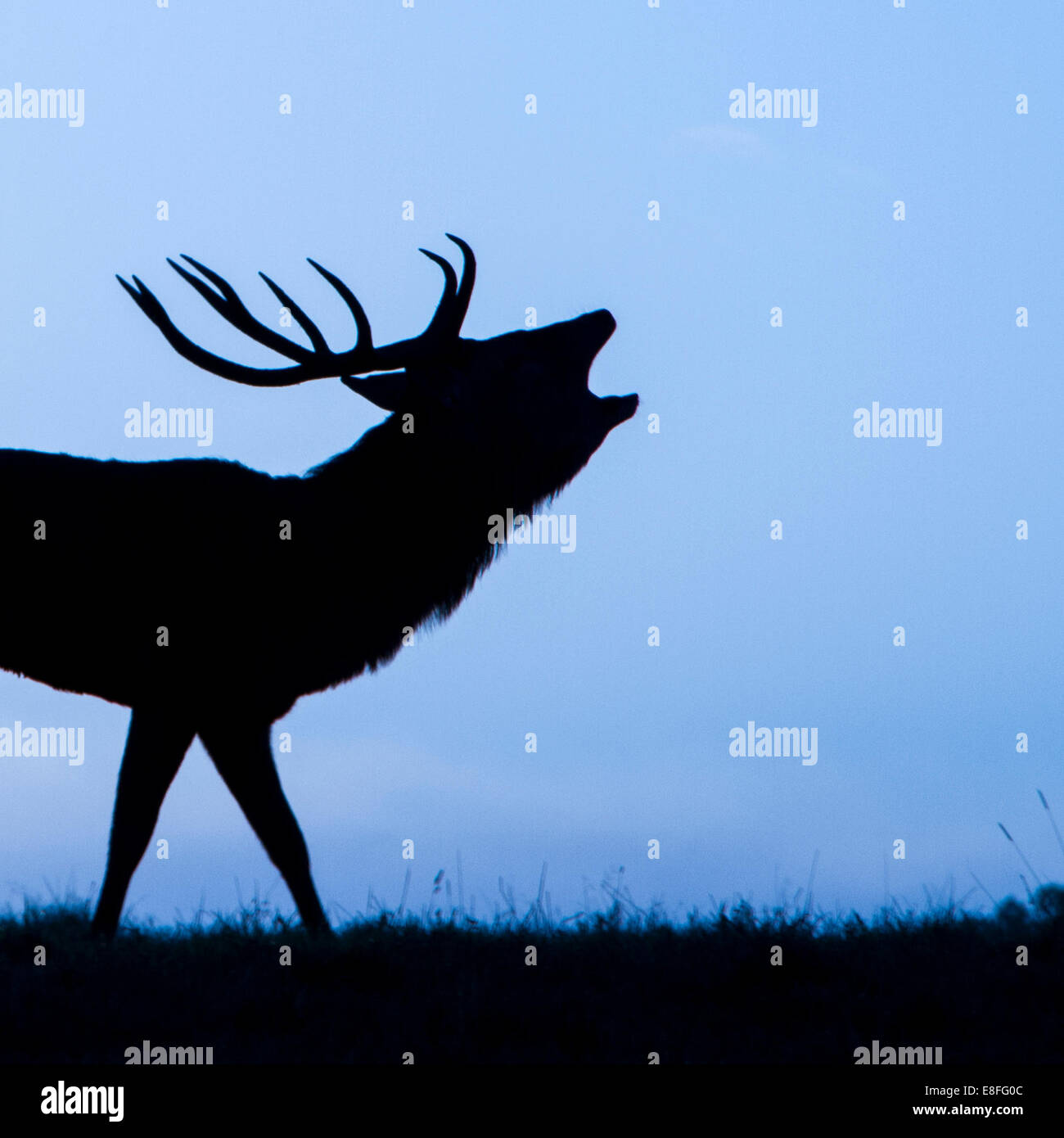 Silhouette of Stag roaring, Berkshire, England, UK - Stock Image