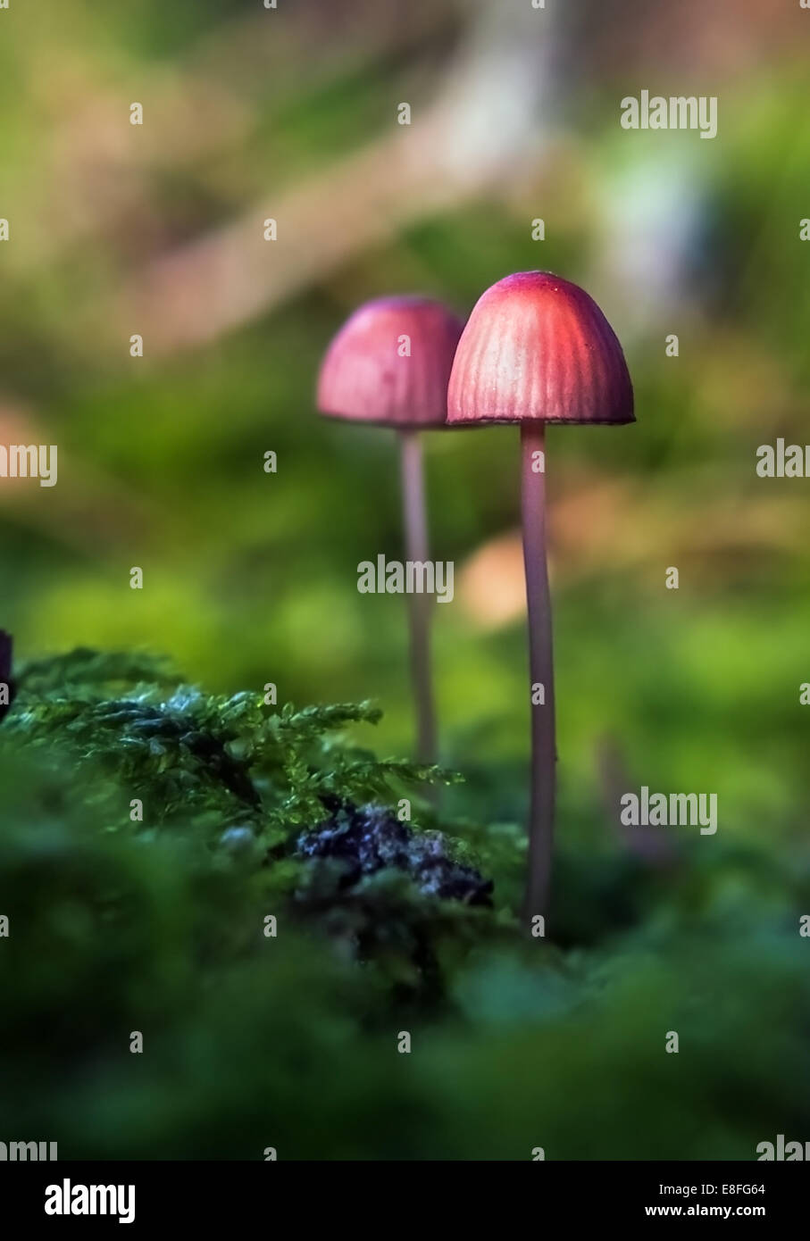 Wild Mushrooms in forest, Sweden - Stock Image
