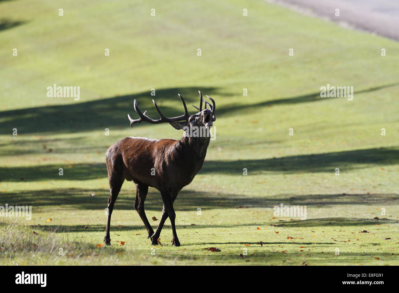 Windsor Great Park, Berkshire, UK. 7th October, 2014. UK Weather: Red deer stag bellowing during the annual deer rut in Windsor Great Park, Berkshire, England, UK. Credit:  Ed Brown/Alamy Live News Stock Photo