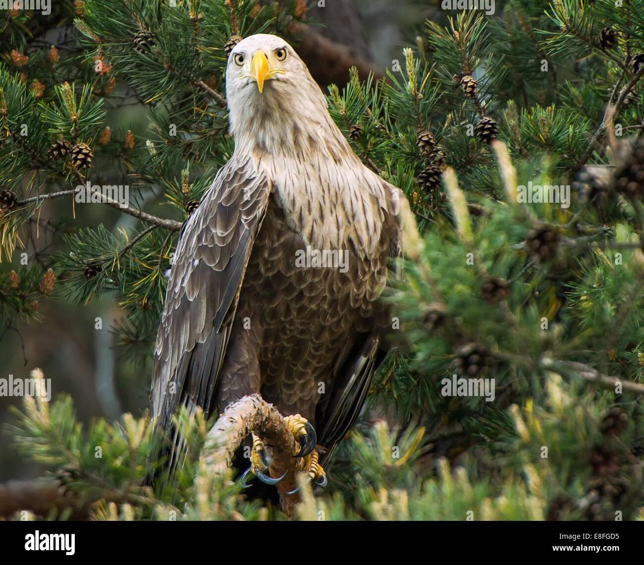 Bird of prey - Stock Image