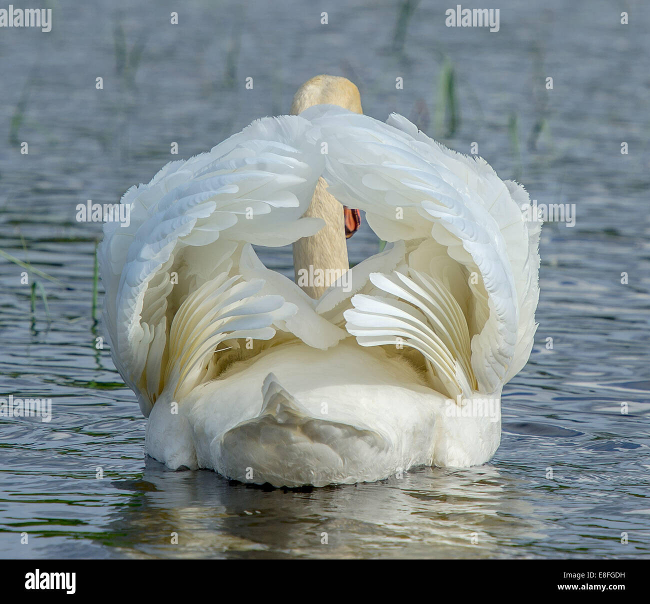 Rear view of swan - Stock Image