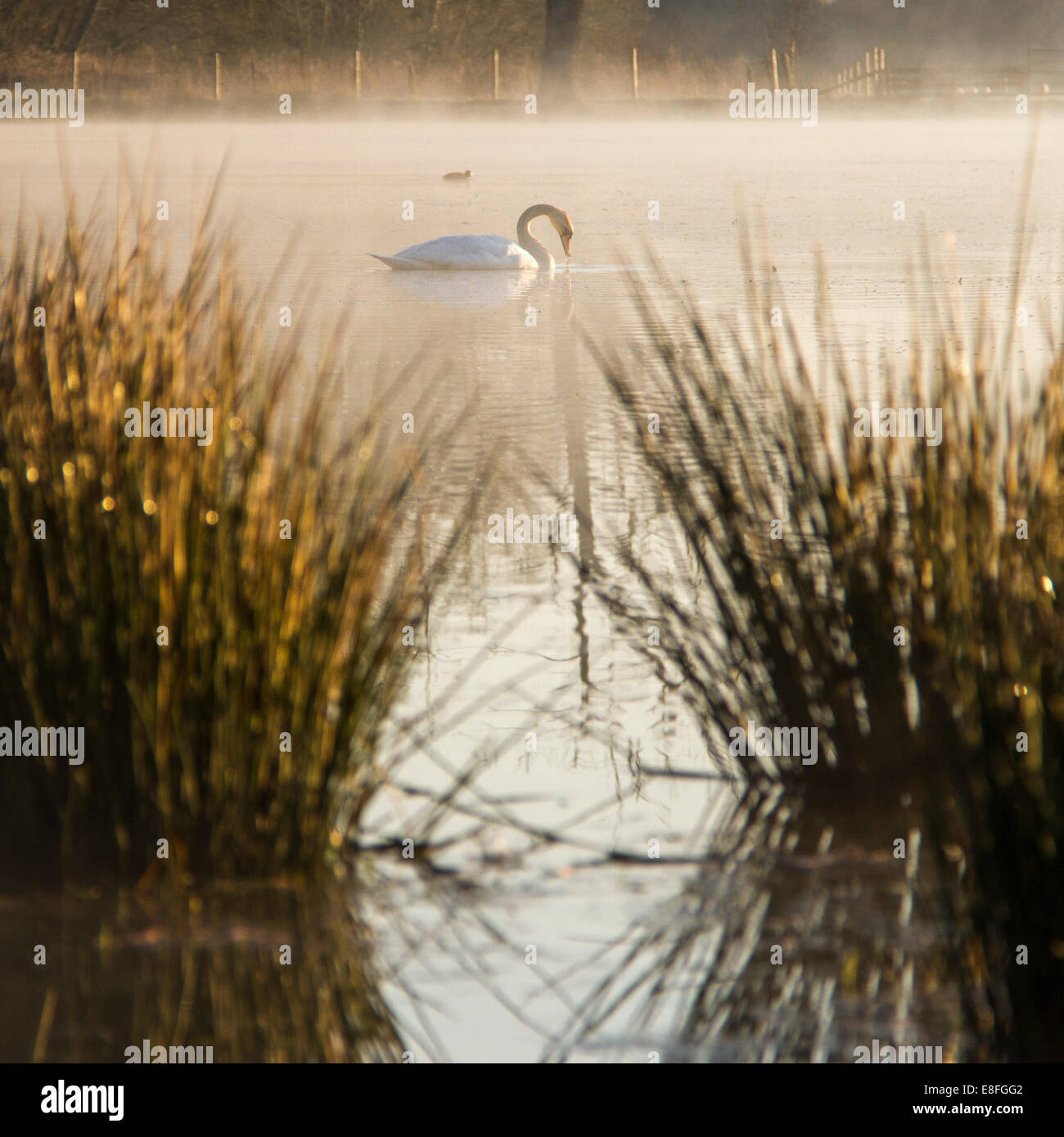 Swan on lake at morning sun - Stock Image