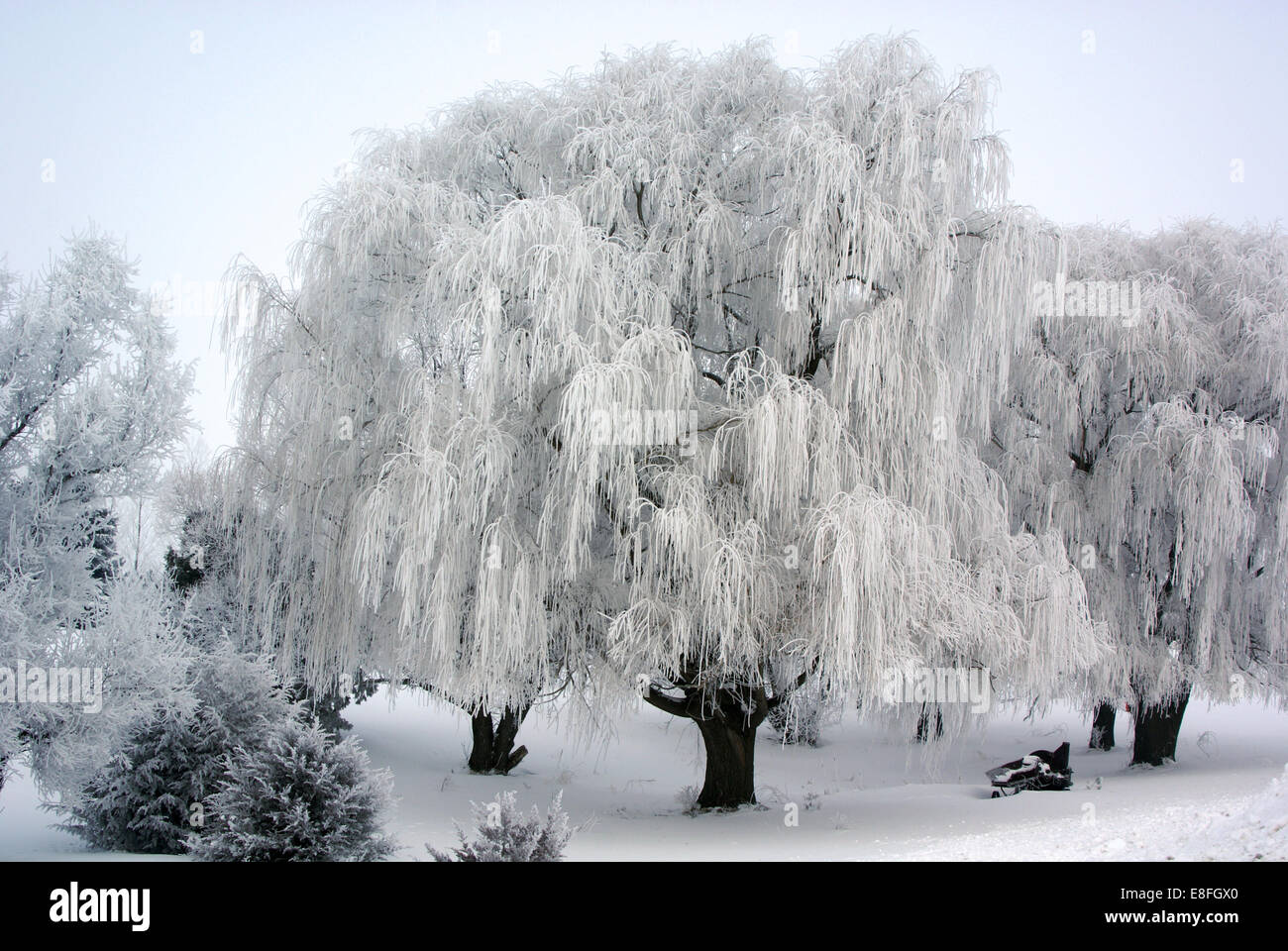 USA, Minnesota, Frosted willows - Stock Image