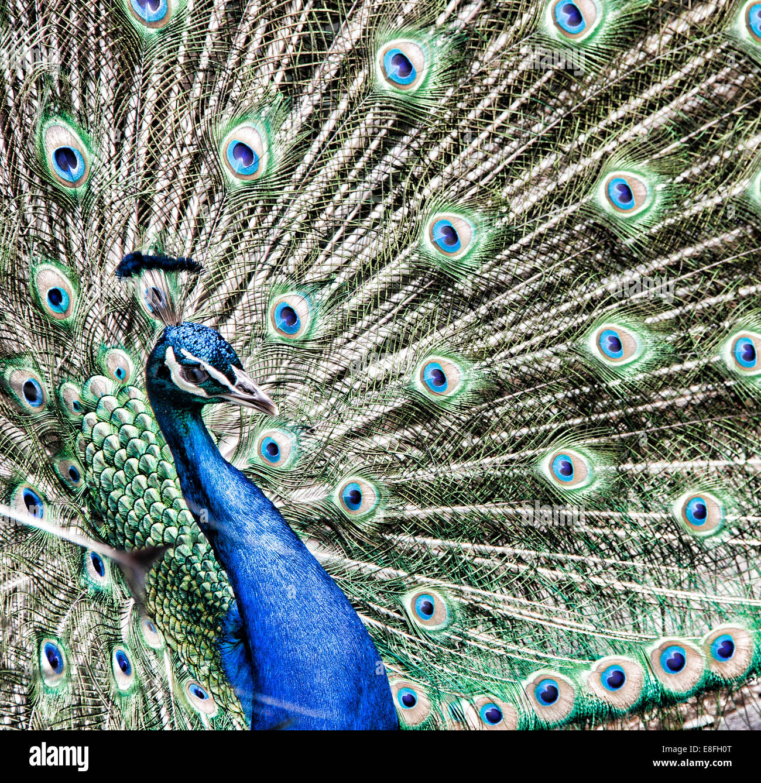 Portrait of peacock - Stock Image