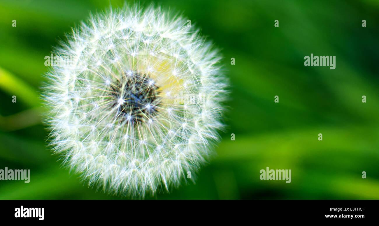 Close-up of a dandelion clock Stock Photo