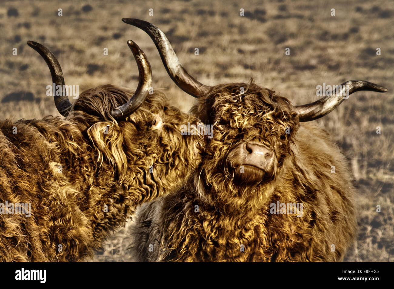 Two hairy cows kissing - Stock Image