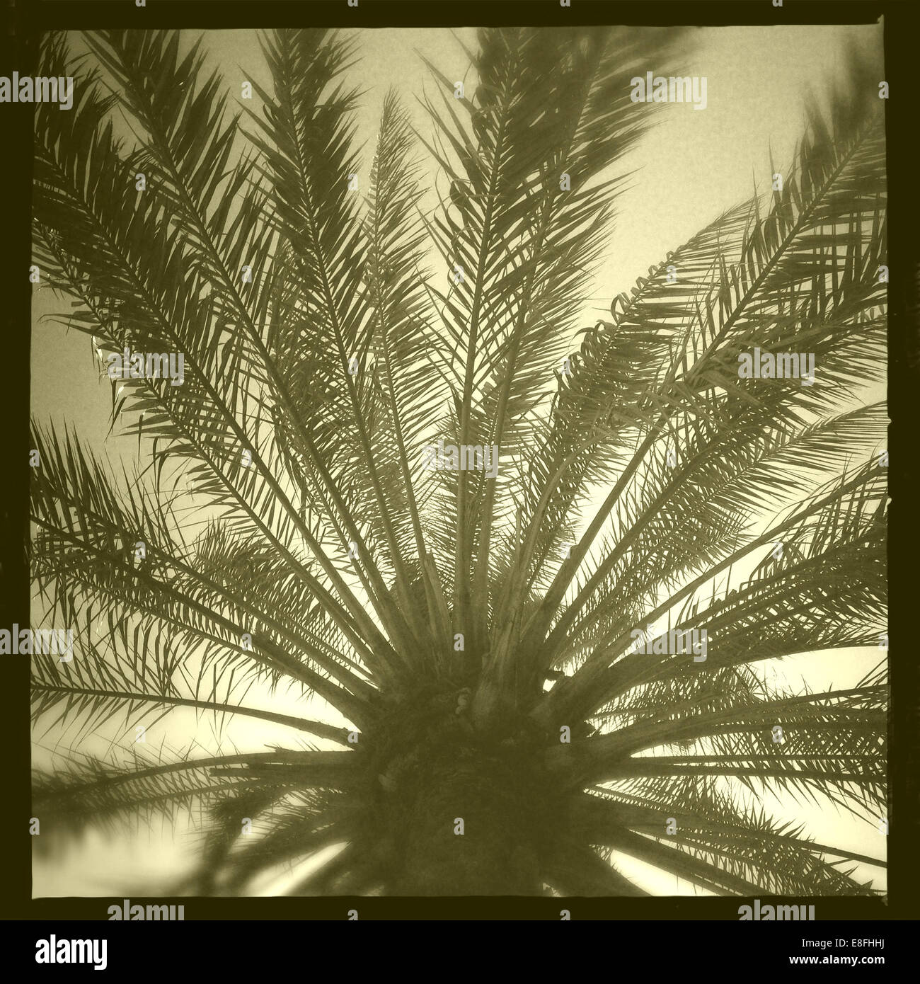 Oman, Muscat, Palm tree from below Stock Photo