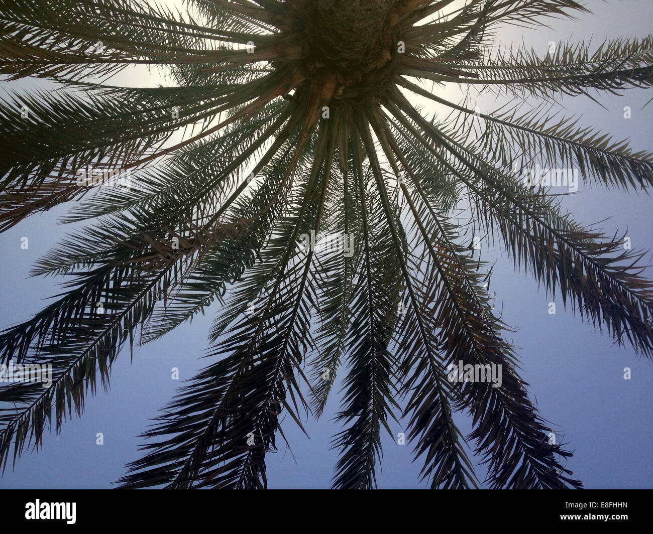 Oman, Muscat, Palm tree from below - Stock Image
