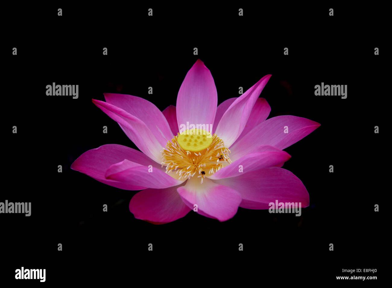Lotus flower stock photos lotus flower stock images alamy close up of pink lotus flower nelumbo nucifera stock image izmirmasajfo